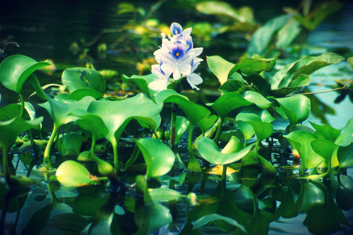 water-hyacinth-images1-min